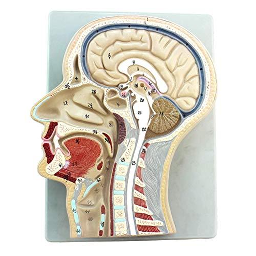 LXX Anatomisches Kopfmodell – Median Schütze Abschnitt Gehirn Modell Otolaryngologie Anatomie aus PVC Material Gehirn Anatomisches Modell – für medizinische Erziehung, Trainingshilfe
