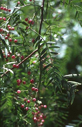 Asklepios-seeds® - 35 Samen von Schinus molle, Peruanischer Pfefferbaum Rosa Pfeffer