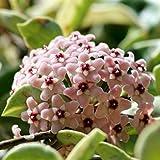 """Hoya carnosa """"Tricolor"""" (Fiore di cera) [Vaso Ø14cm   H. 35+ cm.]"""