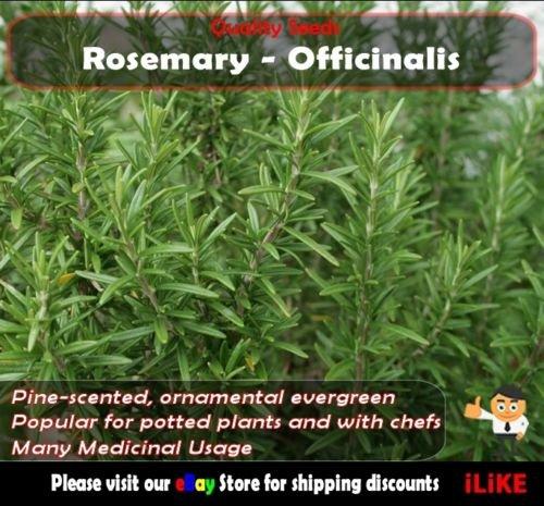 Rosemary officinalis 20 Semences potagères minimum jardin d'herbes aromatiques. Longue durée.