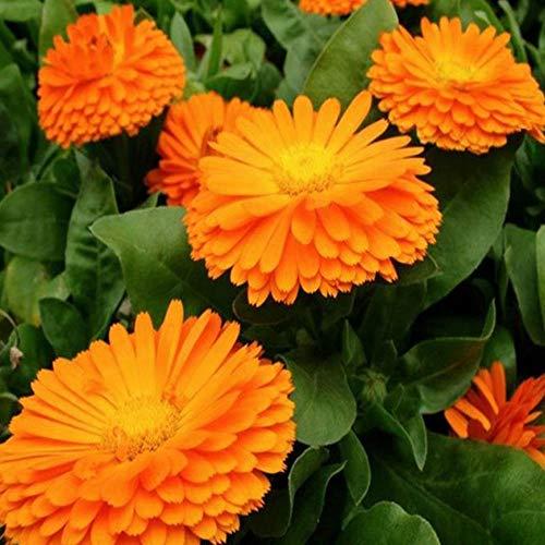 Charm4you Flores Semillas Planta Bonsai,Calendula officinalis Semillas de Flores fáciles de Plantar-0.25kg_Yellow,Jardín Ornamental balcón