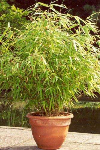6 x Bambus Pflanze Fargesia rufa ca. 40 cm -jetzt mehr Erholung im Garten erleben!