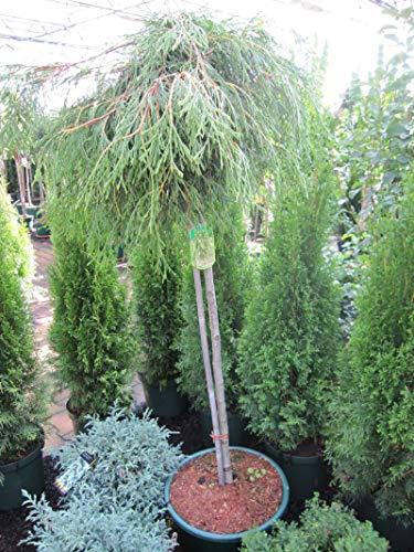 Thuja plicata Kagers Beauty - Riesenlebensbaum Kagers Beauty - Veredelung auf einem 90 cm Hochstamm
