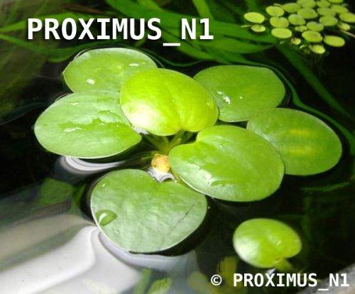 Schwimmende Teichpflanze, Südamerikanischer Froschbiss