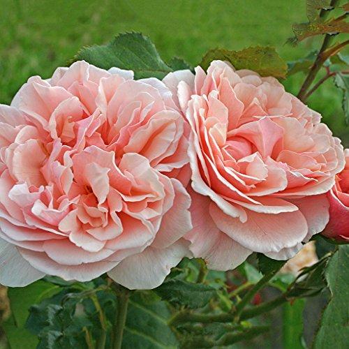 Kordes Rosen Eifelzauber Strauchrose, pastell/rosa, 12 x 12 x 40 cm