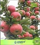 Seedsown enanos miniatura Semillas manzana Fuji de árboles frutales no de semillas híbridas