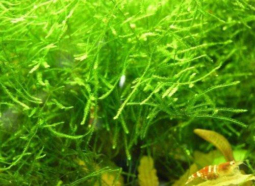 WFW wasserflora Javamoos/Vesicularia dubyana in Einer 125 ml Dose