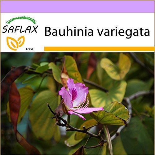 SAFLAX - Orchideen-Baum - 8 Samen - Bauhinia variegata