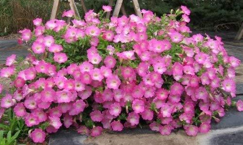 100 ROSE PÉTUNIA Graines de fleurs