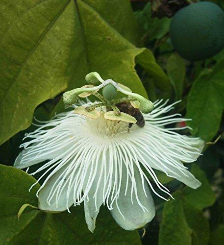 Passiflora eichleriana | passiflore | 20_Seeds POUR NOUS