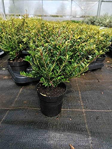Ilex crenata 'Glorie Gem' 25 cm 6 Pflanzen - Stechpalme Heckenpflanzen - Idealer Buchsbaum-Ersatz