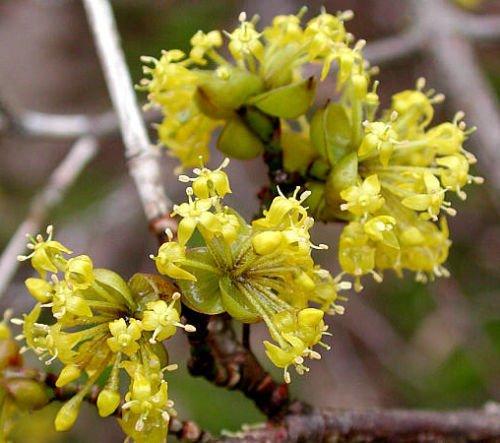 50 Samen der japanischen Cornelian...