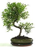 Tronco grande Zanthoxylem o Pepper Bonsai Tree S – Olla ovalada y bandeja de goteo de cerámica solo árbol sin cuidado