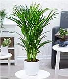 BALDUR Garten Areca Palme ca. 50 cm hoch,1 Pflanze Luftreinigende Zimmerpflanze verbessert die Luftqualität Zimmerpalme Goldfruchtpalme Grünpflanze