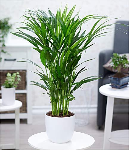 BALDUR Garten Areca Palme ca. 50 cm hoch,1 Pflanze Luftreinigende Zimmerpflanze Zimmerpalme Goldfruchtpalme Grünpflanze