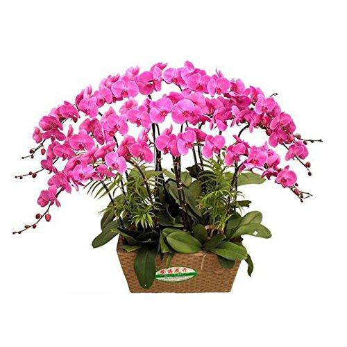 50 graines / Paquet graines d'orchidées hydroponique, fleurs d'intérieur bonsaï quatre saisons, Phalaenopsis Orchidées