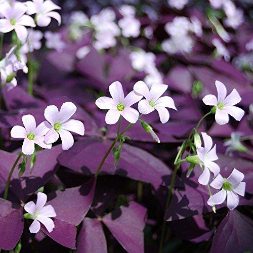 Lulan Oxalis Triangularis 'Purple Shamrocks' - 15 Ready to Plant Bulbs