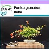 SAFLAX - Melograno nano - 50 semi - Punica granatum nana