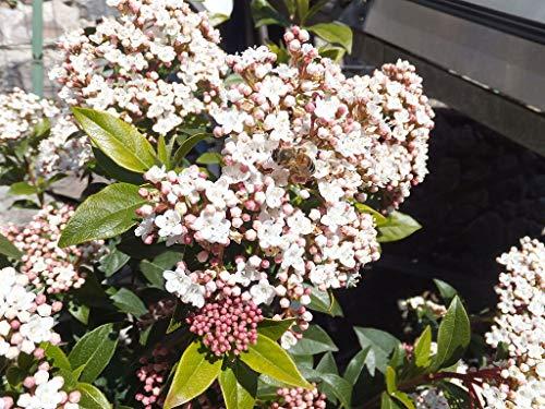 Portal Cool Viburnum tinus Durillo Blooming Invierno! Evergreen 10 Semillas