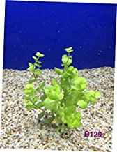 NQA B129 Live Fresh Water Aquatic Plant Lysimachia nummularia 'Aurea' Bundle - RK246
