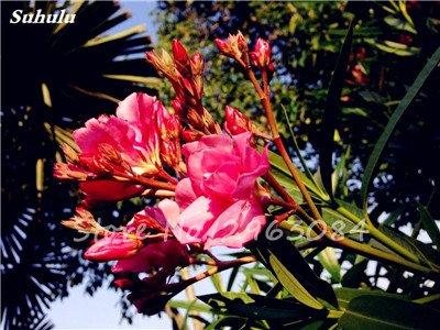 100 Pcs Nerium Oleander Flower Look Seed Tout comme les plantes Rose Fleur Bonsai jardin Arbre Quatre Saisons fleurs vivaces Easy Grow 8