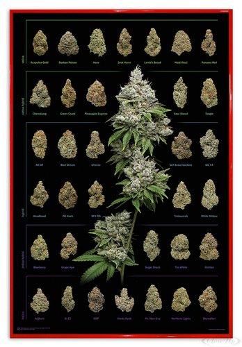Close Up Cannabis Poster Dank Nugs Marihuana-Sorten (94x63,5 cm) gerahmt in: Rahmen rot