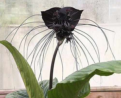Tacca Chantrieri 10 Seeds, The Black Bat Pflanze, Blühender Garten Whiskers/USA