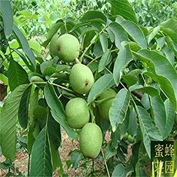 Begrenzte Top Fashion ausgeschlossen regelmäßige Verschönerung gemäßigten Balkon Walnuss Samen Pekannuss Englisch Baum 1 Samen (er Tao)