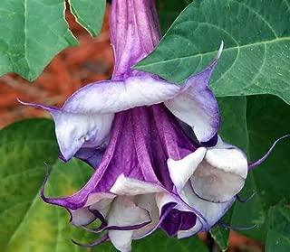 Best purple angel trumpet tree Reviews