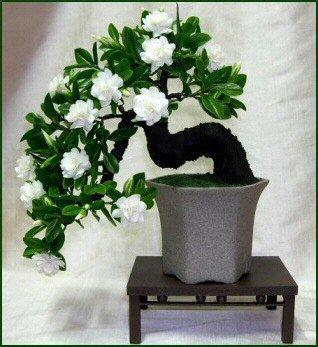 100 semi Gardenia (Capo Jasmine) -DIY giardino della casa in vaso bonsai, sorprendenti odore e bellissimi fiori,