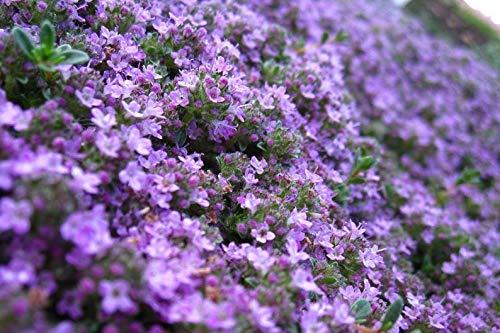 Keland Garten - 50pcs Raritäten Polsterphlox Reichblühend für Bienen Schmetterlinge Immergrüner Bodendecker, Blumensamen Mischung winterhart mehrjährig für Steingarten