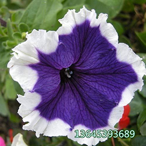 B/H mélange Fleurs graines,Fleurs ornementales pour Balcon,Morning Glory Vine Graines de Fleurs en Pot Trompette Flower-J_20 Capsules