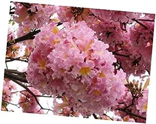 Seeds Tabebuia Rosea Tree 15 Seeds, Pink Poui Flowering Garden Trumpet Tree