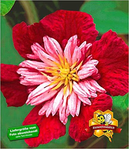 BALDUR Garten Waldrebe Clematis 'Avant Garde TM' winterhart, 1 Pflanze Klematis mehrjährige blühende Kletterpflanzen