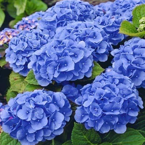 Bauernhortensie Adria * Hortensie * Blume * Pflanze