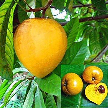 Potseed . 10 Plantas de Las PC Lúcuma nerviosa Yema de Huevo de Frutas de árboles perennes de Bricolaje de jardín al Aire Libre plantación