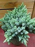 blauer Zwerg Wacholder Juniperus squamata Blue Star 15-20 cm hoch im 2 Liter Pflanzcontainer