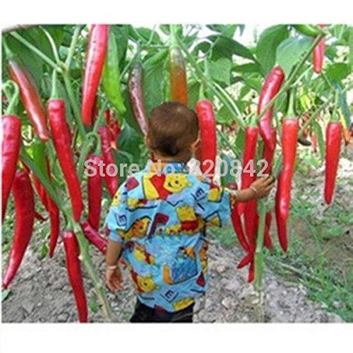 30pcs / sac piment graines flores mangeable plantas Red Giant Hot Pepper SeedsAndPlants Les graines de plantation de légumes de semillas Bonsai