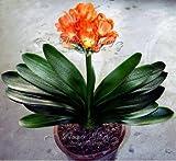 1 Pz reale Clivia semi piante bonsai giardino semi di fiori Semente fiori decorativi regalo di nuovo anno di semi 1 Arancione Clivia
