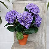 Shopvise Hydrangea Seeds Home Garden 20Pcs / Pack Color (Azul cielo)