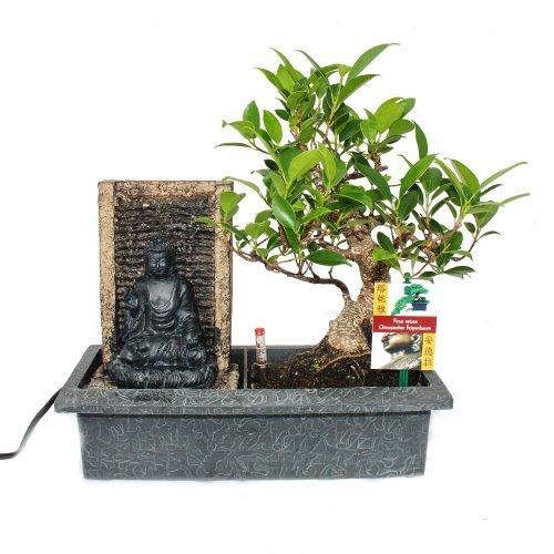 Exotenherz - Bonsai Chinesischer Feigenbaum 6-7 Jahre mit Buddha-Brunnen