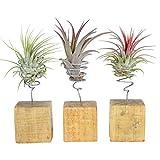 Mix de Tillandsia   Plantes d'intérieur tropicales   Hauteur 12-14cm   Support en bois de ø 6cm   Lot de 3 plantes