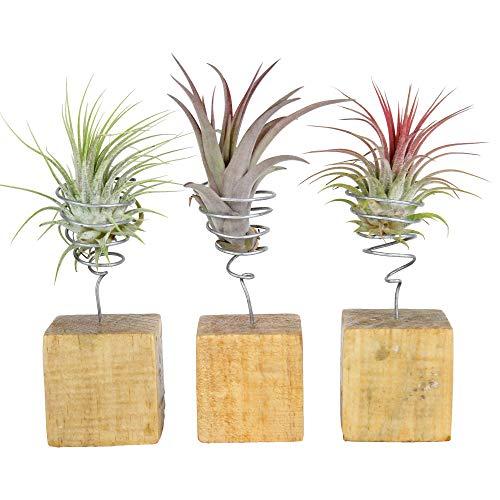 Tillandsia | 3er Set Tillandsien auf Holzblöcken | Länge 12-14cm | Topf-Ø 6cm