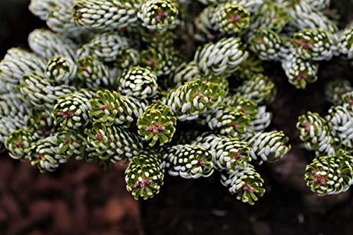 Zwergtanne 'Kohout's Icebreaker'® - Kräftige Pflanze im 3 lt.-Topf, 20-25 cm