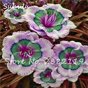 Taglilien Samen 50 Stücke Hybrid Taglilien Samen Holland Regenbogen Bonsai Blumensamen Hemerocallis Lilie Köstliche Gesunde Gemüse Essen 20