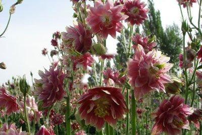 les plantes d'intérieur populaires de semences importées 60 / paquet (blanc couleur double) ancolies doubles