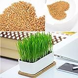 Rosepoem Semillas 800pcs gato hierba Semillas de hierba de trigo para Cat dulce avena para gatos Inicio Bonsai