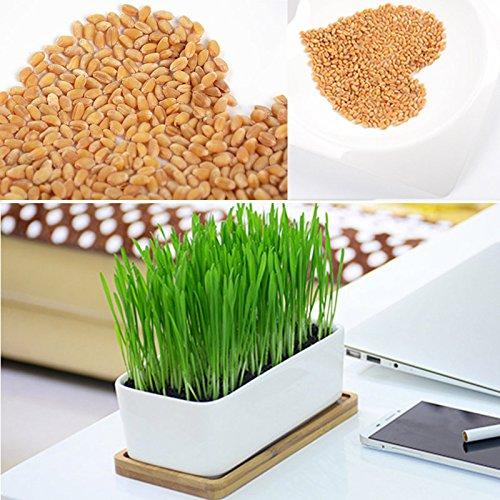 Feuillage plante haute qualité organique verte 800 Chiendent graines de blé Grande Germination Herbe à chat en bonne santé Traitez chimique libre