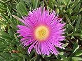 I semi sono il pacchetto di set. A livello internazionale che fornisce la spedizione L'immagine è solo per riferimento. Grassi: Carpobrotus Edulis, e, Sour Figue, Hottentot Figue, Fiore rosa.