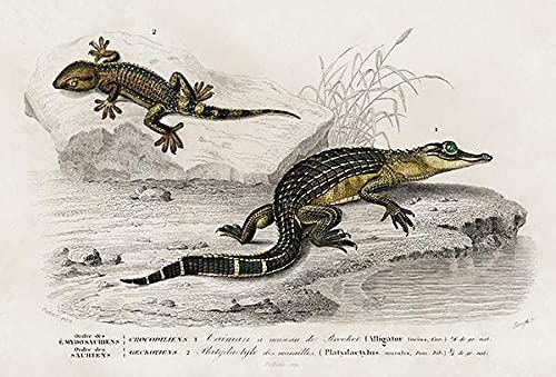 Seattle Mall Caiman Alligator Super beauty product restock quality top Platydactyle - Magnet Illustration 1849